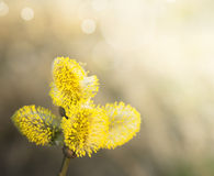 Yellow willow catkin on tree Royalty Free Stock Images