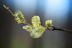 Yellow willow flowers on the branch Royalty Free Stock Images