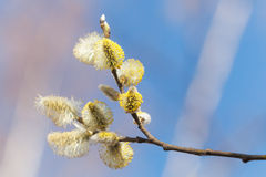 Yellow willow flowers in spring forest Royalty Free Stock Photography