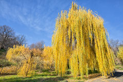 Yellow willows in fall in blue sky stock image