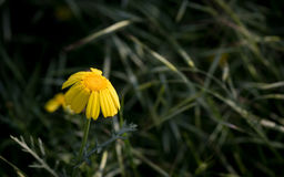 Yellow wilted marguerite flowers. Yellow wilted marguerite flower with petals ready to fall Royalty Free Stock Images