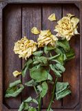 Yellow wilted rose petals Royalty Free Stock Photo