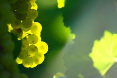 Yellow Wine Grape stock photo