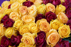 Yellow and wine red roses Royalty Free Stock Images