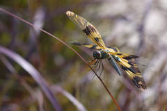 Yellow wing dragonfly Stock Photo