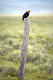 Yellow-winged black bird on fence rail, near Lakeview Montana in spring
