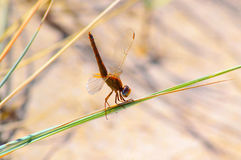 Yellow-winged darter dragonfly. Perched on a reed leaf Royalty Free Stock Images