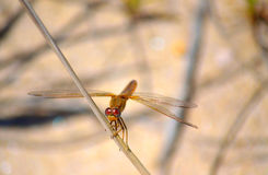 Yellow-winged darter dragonfly. Perched on a reed leaf Royalty Free Stock Photography