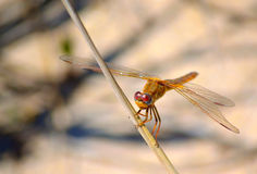 Yellow-winged darter dragonfly. Perched on a twig Royalty Free Stock Photography