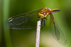 The Yellow-Winged Darter Stock Photos