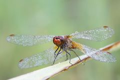 Yellow-winged darter,  Sympetrum flaveolum. Male yellow-winged darter,  Sympetrum flaveolum, covered with morning dew Stock Images