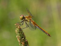 Yellow-winged darter Sympetrum flaveolum. Sitting on the rotten leaf Royalty Free Stock Image