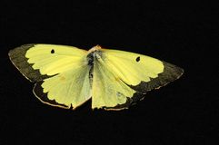 Yellow Wings Royalty Free Stock Photography