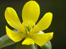 Yellow winter aconite Stock Images