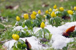 Winter aconite Stock Images