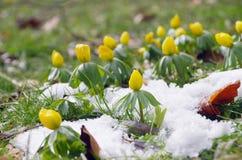 Winter aconite Stock Images