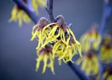 Yellow winter flower Royalty Free Stock Image