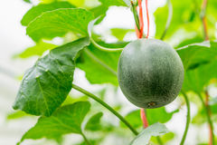 Yellow winter melon flower in farm. Flower of Organic agriculture, melon fruit is growing in the farm Royalty Free Stock Photos