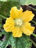 Yellow winter melon flower Stock Photo
