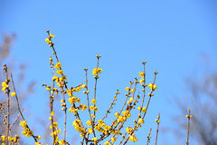 Yellow winter sweets flowers with blue sky in winter. Royalty Free Stock Photo