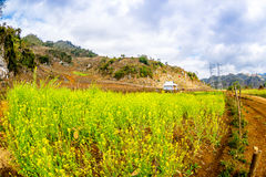 Yellow Wintercress garden of the ethnic people in Moc Chau plateau, Vietnam Royalty Free Stock Image