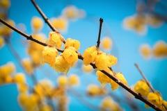 Yellow wintersweet flower in winter Stock Image