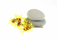 Yellow Witch Hazel. With zen stones isolated on white background royalty free stock photo