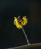 Yellow Witch Hazel Flowers Royalty Free Stock Photo