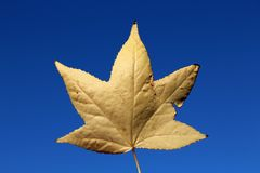 Yellow withered maple leaf Stock Photo