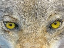 Yellow wolf eyes, wild animal nature,. Focus on center. yellow wolf eyes. dangerous wild animal nature concept Stock Photography