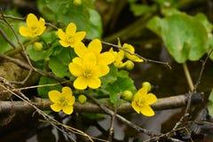 Yellow wood anemone Stock Photo