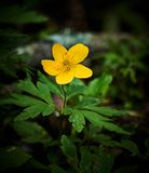 Yellow wood anemone blooming. In forest. closeup picture of beautiful flower details green leaves mood moody plant woods macro  outdoors nature natural beauty royalty free stock images