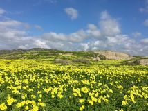 Yellow wood sorrel field. Wild yellow wood sorrel flowers cover the hills under the white dotted clouds of the beautiful blue California Royalty Free Stock Photos