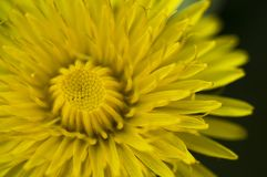 The yellow world. A close-up of a wonderful yellow early spring dandelion Royalty Free Stock Photography