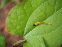 Yellow worm on a leaf. Yellow worm with black head on a green leaf stock photography