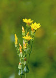 Yellow-wort Royalty Free Stock Photography