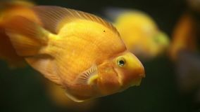 Yellow wrasse, also known as Golden Rainbowfish, Golden Wrasse, Yellow Coris, or Canary Wrasse Halichoeres chrysus. Close up shot underwater stock video footage