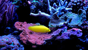 Yellow wrasse in marine tank Royalty Free Stock Image