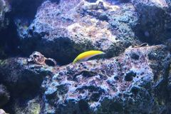 Yellow Wrasse Royalty Free Stock Photography