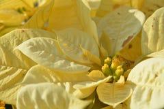 Yellow xmas flowers Stock Photos