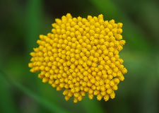 Yellow Yarrow Achillea flower Stock Photography