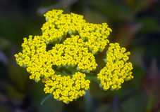 Yellow Yarrow Achillea flower Stock Photos