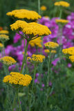 Yellow yarrow Royalty Free Stock Images