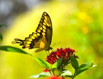 Yellow on Yellow. The tiger swallowtail butterfly (Papilio glaucas) is a strong flier with distinctive yellow and black striped markings on its wings and body ( Royalty Free Stock Photos