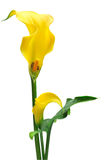 Yellow zantedeschia. Isolated on white background Royalty Free Stock Images