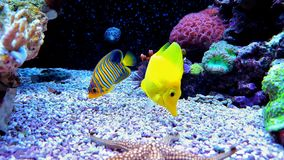 Yellow zebrasoma tang and regal angel Angelfish redsea. Coral reef aquarium tank fish royalty free stock photography