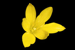 Yellow Zephyranthes Royalty Free Stock Photos