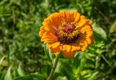 Close-up of a Yellow Zinnia Hybrid Flower - 1 Stock Photo