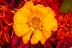 Yellow Zinnia Astereaceae Flower Blooming Bouquet Royalty Free Stock Image
