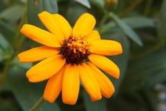 Yellow Zinnia flower closeup Royalty Free Stock Photo